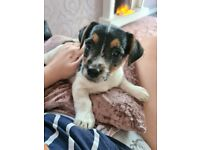 Handsome Miniature Jack Russell puppy
