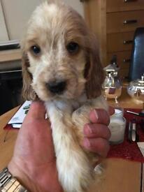 Cocker spaniel puppy 1 boy left