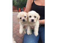 Gorgeous bitchon frise puppies forsale