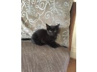 Beautiful black kitten for sale