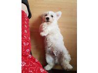 Bichon puppy male