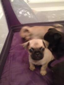 3/4 pug puppies