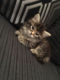 Male kitten , 8 weeks old, needs a good home