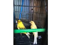 Roller Canary for sale