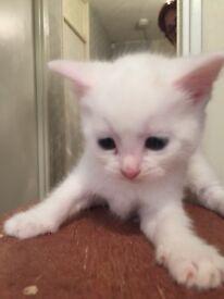 White kittens for sale £100 each