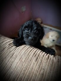 Goldendoodle puppies for sale!!!