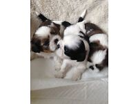 Kennel Club Registered Shih Tzu Puppies For Sale
