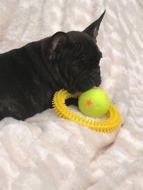 stunning kc reg french bulldog puppies **READY NOW**