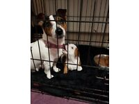 Beautiful staffy cross miniature jack russle