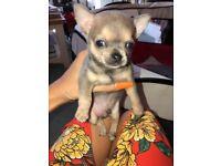 Blue/beige Chihuahua puppies