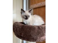5 Ragdolls for sale ready to leave now