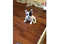 French Bulldog Puppy KC Registered Fully vaccinated