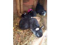 Beautiful baby netherland dwarf rabbits £20 each ready in 4 weeks