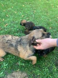 Kc border terrier puppies