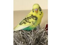 GORGEOUS STUNNING HAND TAME BABY BUDGIE, AMAZING COLOUR WITH CAGE