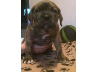 Ultimate Mastiff x American Bulldog puppies for sale