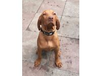 Hungarian Vizsla male puppy for sale