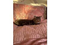 Pedigree British Short Hair Brown Tabby Kitten girl