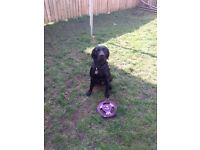 Male black Labrador has now been rehomed.