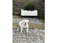 Super wide low old English bulldog male