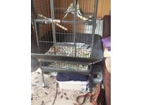 Tame Cockatiels including Cage For Sale