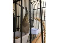 Cockatiel + Large Cage