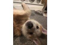 Husky x Labrador puppy last red pup
