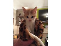 Beautiful Male kitten for sale