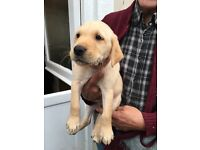 Retriver/Labrador puppies