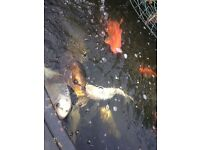 Koi fish for sale -selected-