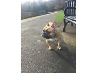 French bulldog age 3 fawn male