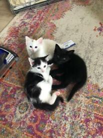 Beautiful siamese / oriental kittens