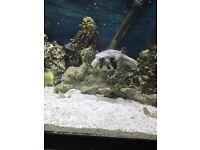 Marine puffer fish. Stars & strips