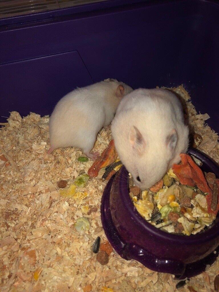 Baby hamsters for sale | in Salisbury, Wiltshire | Gumtree