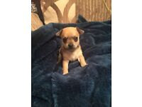 Chihuahua puppies for sale £475