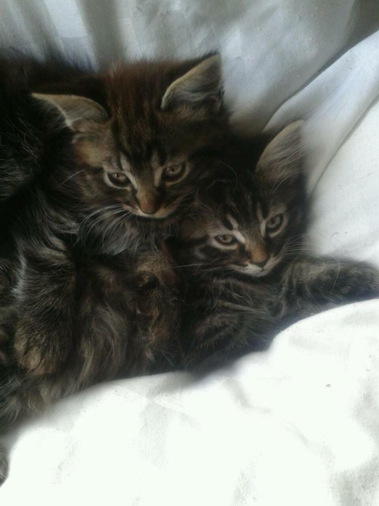 Beautiful long haired kittens for sale