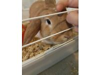 Gorgeous Female Mini Lop Rabbit 8Mnths Old **COMES WITH EVERYTHING**