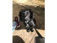 5 month old male cocker spaniel