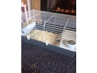 2 male guinni pigs for sale.