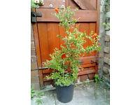 Punica Granatum Nana, Dwarf Pomegranate plant flower shrub