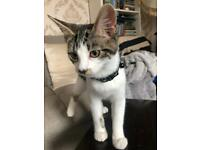 5 month old female kitten + toys,bed,bowls etc
