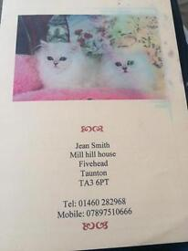 Persian cat for a new home
