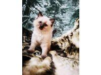 Beautiful Ragdoll Kittens For Sale!