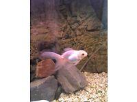 4 Fancy Fan Tailed Goldfish