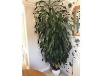 Dragon plant 7 foot tall