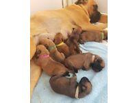 REDUCED!!!! KC reg bullmastiff puppies