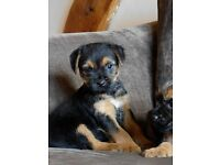 pedigree border terrier puppies