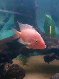 Rose Queen Cichlid for sale