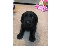 Black Labrador puppies for sale