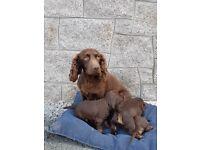 Chocolate cocker spaniel pups